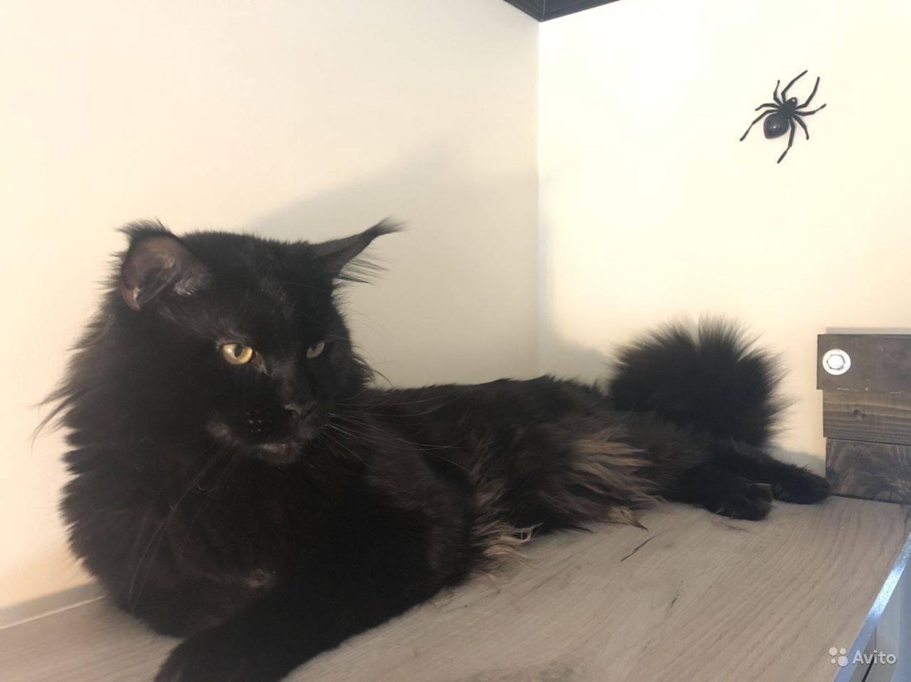 Как удачно провести вязку кошек мейн кун?