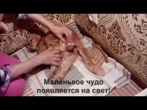 Роды у кошки дома — первые признаки, как принимать