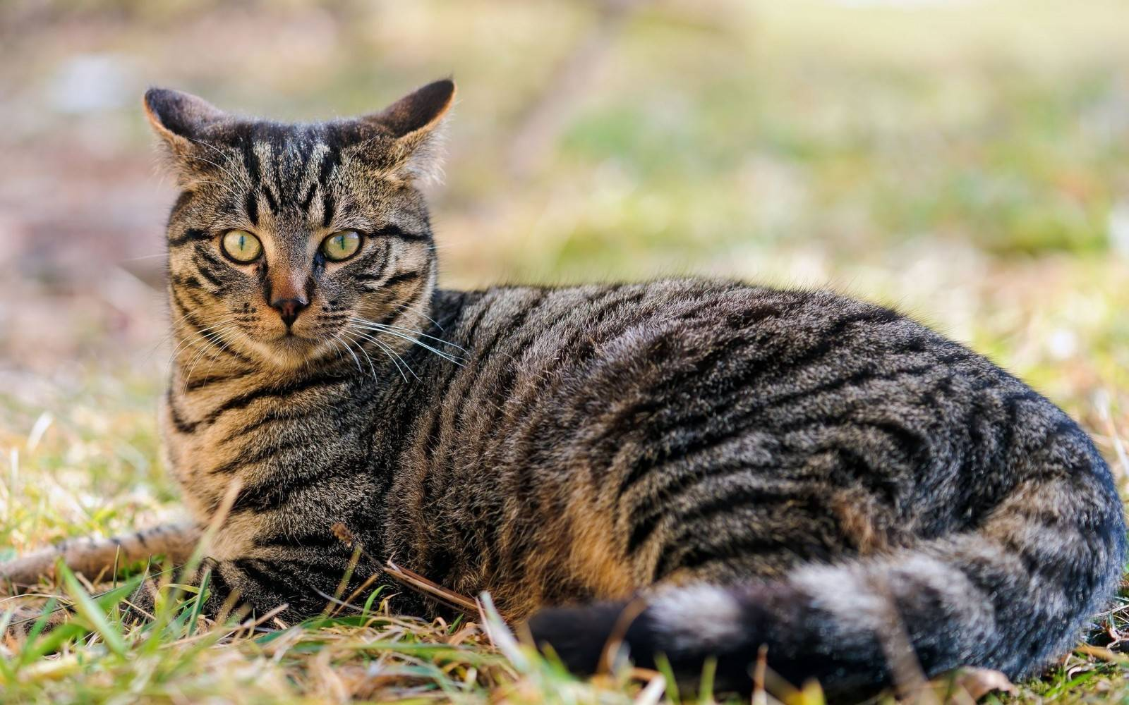 Распространенные окрасы сибирских кошек