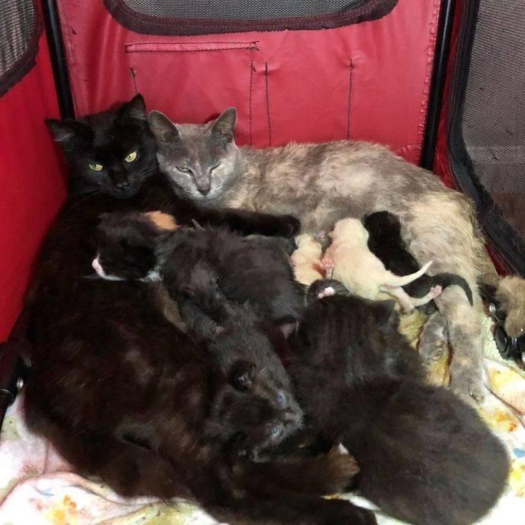 Сколько котят вынашивает кошка: период беременности и количество котят в помёте