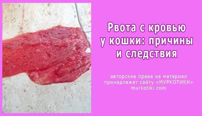 Что делать если кот блюет кровью