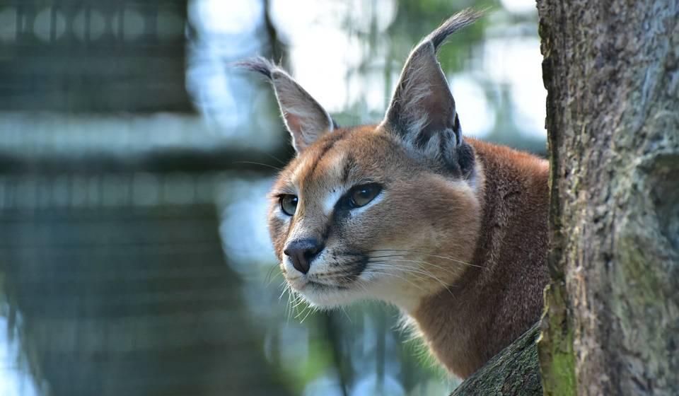 Породы кошек с кисточками на ушах: топ-6 пород с фото породы кошек с кисточками на ушах: топ-6 пород с фото