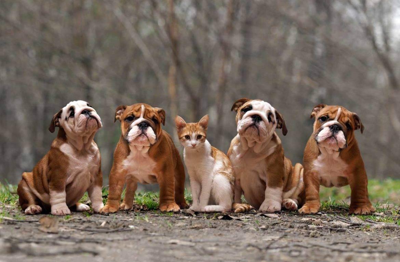 5 пород собак, которые лучше остальных дружат с кошками