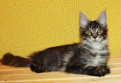 Купить породистого котенка или взять беспородного?