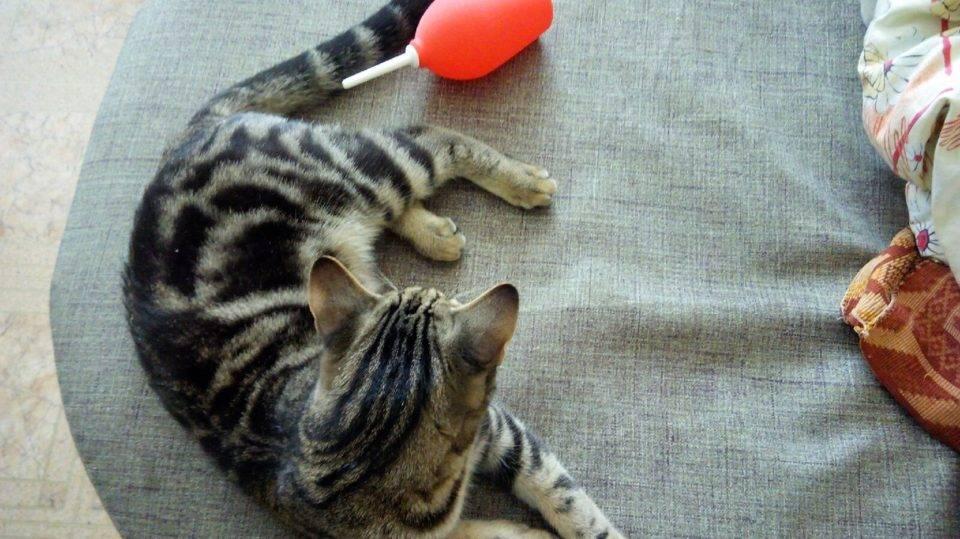 Как сделать клизму коту правильно, можно ли провести процедуру кошке в домашних условиях при запоре