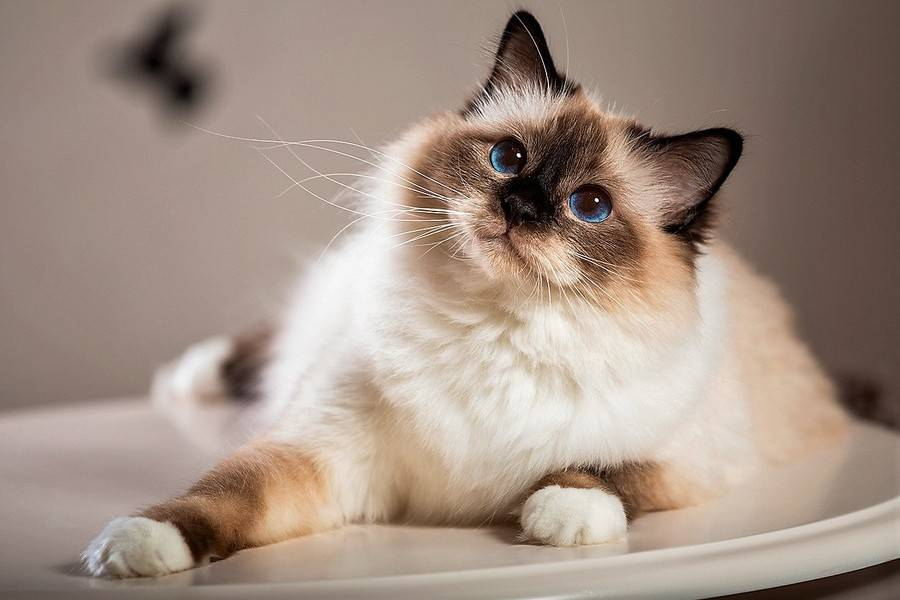 Список лучших пород кошек для квартиры и детей