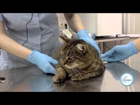 Как правильно стричь когти кошке когтерезкой? как держать когтерез, чтобы подстричь когти коту и котенку?