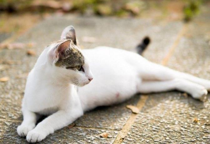 У кошки плотный и надутый живот: причины, сопутствующие симптомы, диагностика и лечение