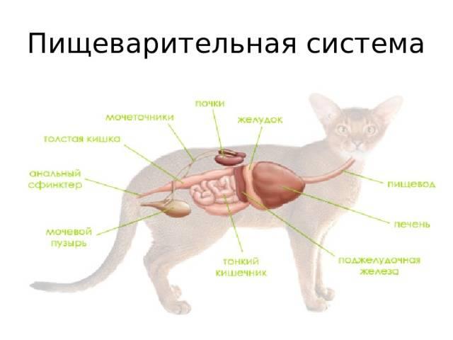 Болезни почек у кошек - что нужно знать, причины, симптомы, диагностика и лечение! | caticat.ru