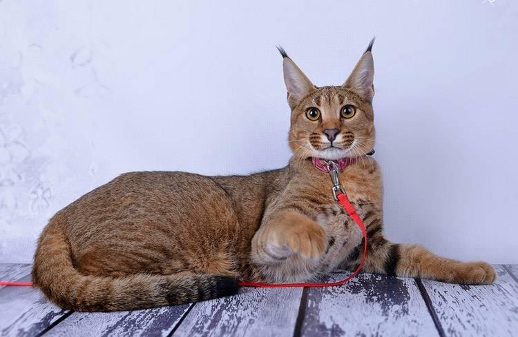 Топ 5 самых опасных пород кошек, которых не стоит держать квартире