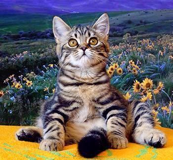 Разновидности окрасов шотландских вислоухих кошек