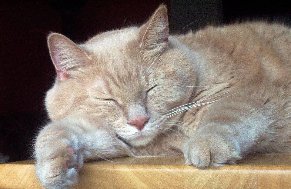 Ваша кошка храпит? первые признаки заболеваний