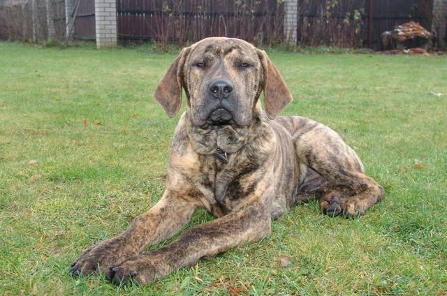 Фила бразилейро. о породе собак: описание породы фила бразилейро, цены, фото, уход