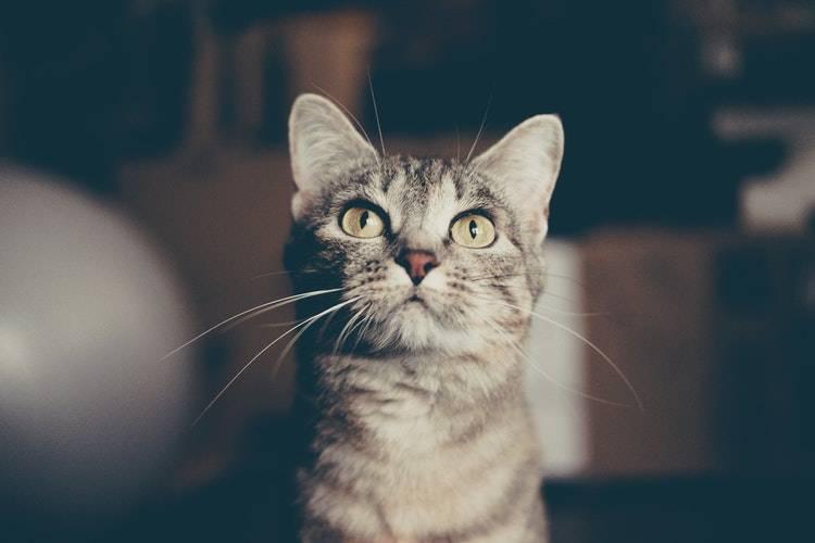 Можно ли давать кошке мясо