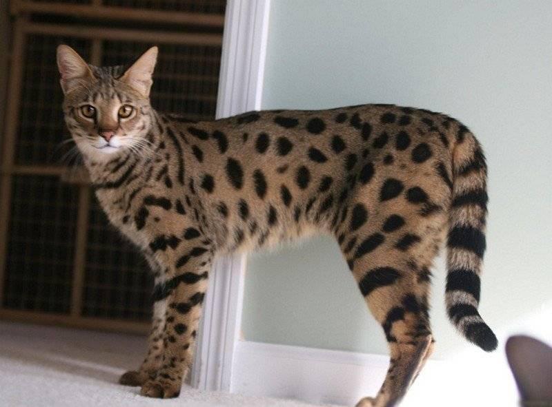 Кошка саванна: описание породы и характер, содержание и уход