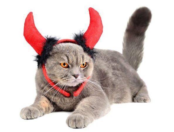 Британская кошка: описание породы, характер и повадки британца, внешний вид, правила ухода и кормления