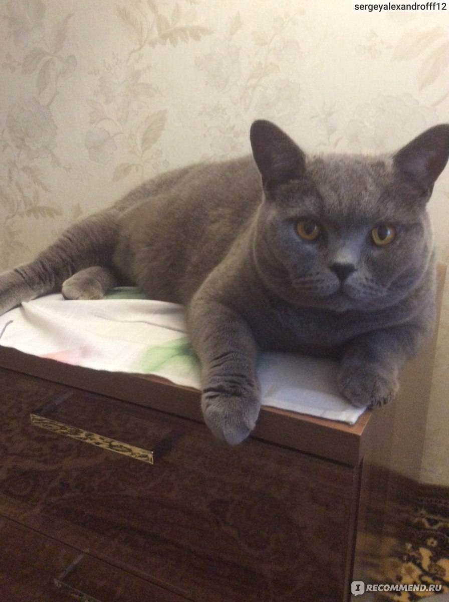 Британская кошка: характер, повадки, особенности поведения