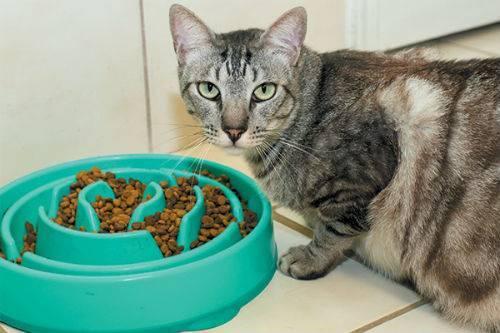 Как, чем и сколько кормить беременную кошку