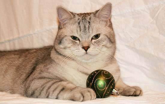 Описание шотландской вислоухой кошки, характер, правильное кормление + варианты имен.