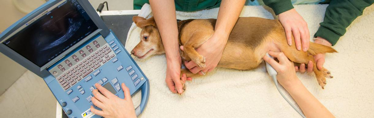 Подготовка собаки и кошки к узи | блог на vetspravka.ru