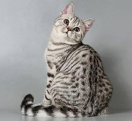Персиковый кот: британцы и другие породы кремового окраса