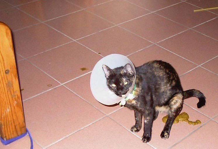 Почему кошка пукает: разберемся в тонкостях пищеварения