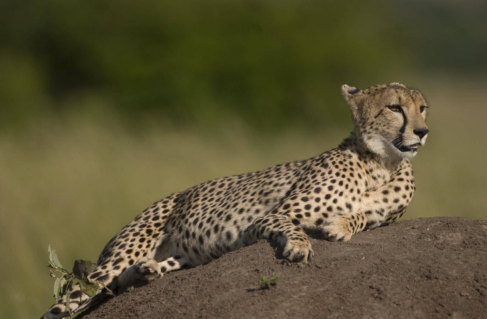Самые интересные представители кошачьих - дикий дикий мир