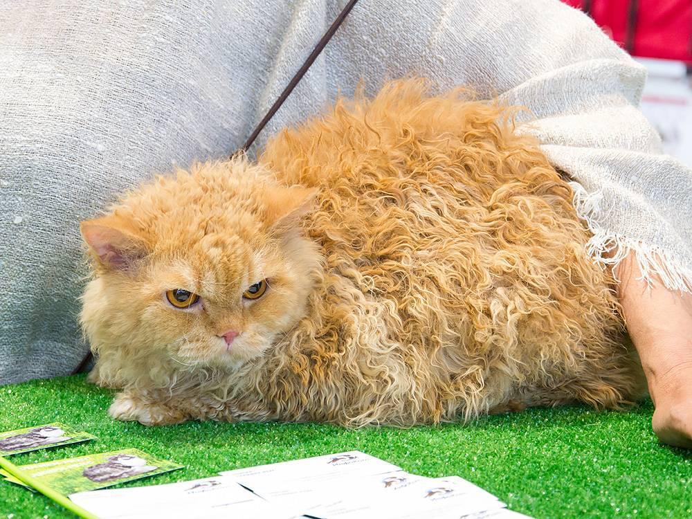 Как выглядит кудрявая кошка — фото, как называется порода кудрявых кошек, сколько она стоит — цена кошки с кудрявой шерстью