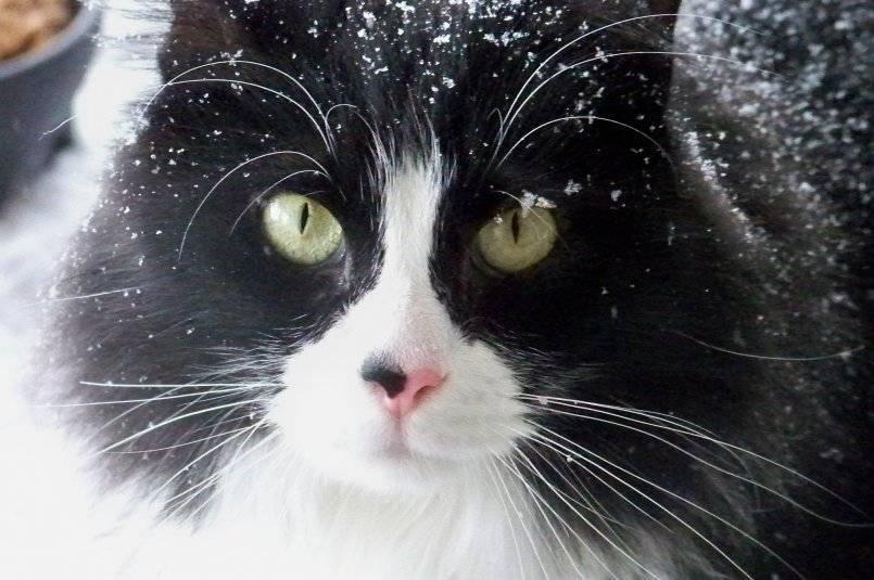 Что делать, если у кошки появилась перхоть и выпадает шерсть