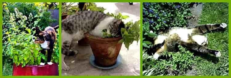 Кошачья мята — действие, свойства, польза и вред от растения для кошек (видео и 95 фото)