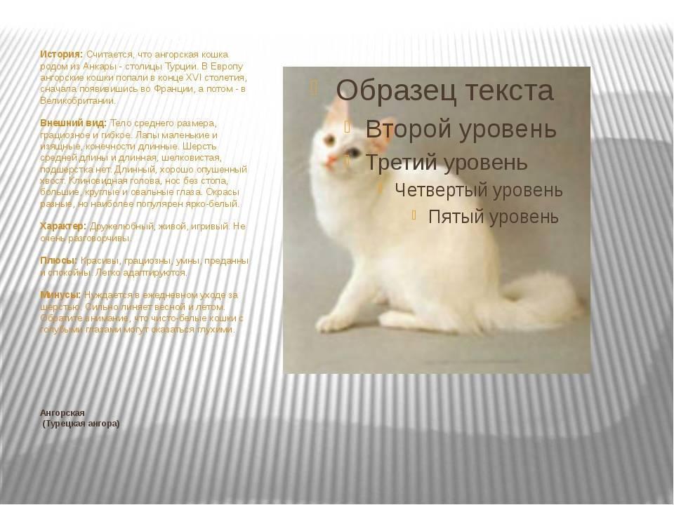 Турецкая ангора: описание внешнего вида и характера породы кошек, уход и содержание, кормление