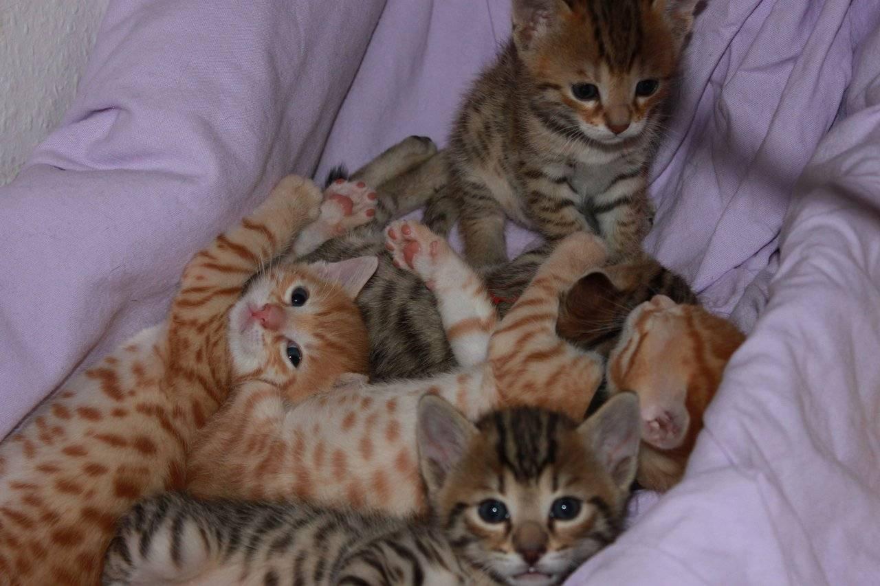 Оцикет: описание породы, характер кошки, советы по содержанию и уходу, фото ocicat