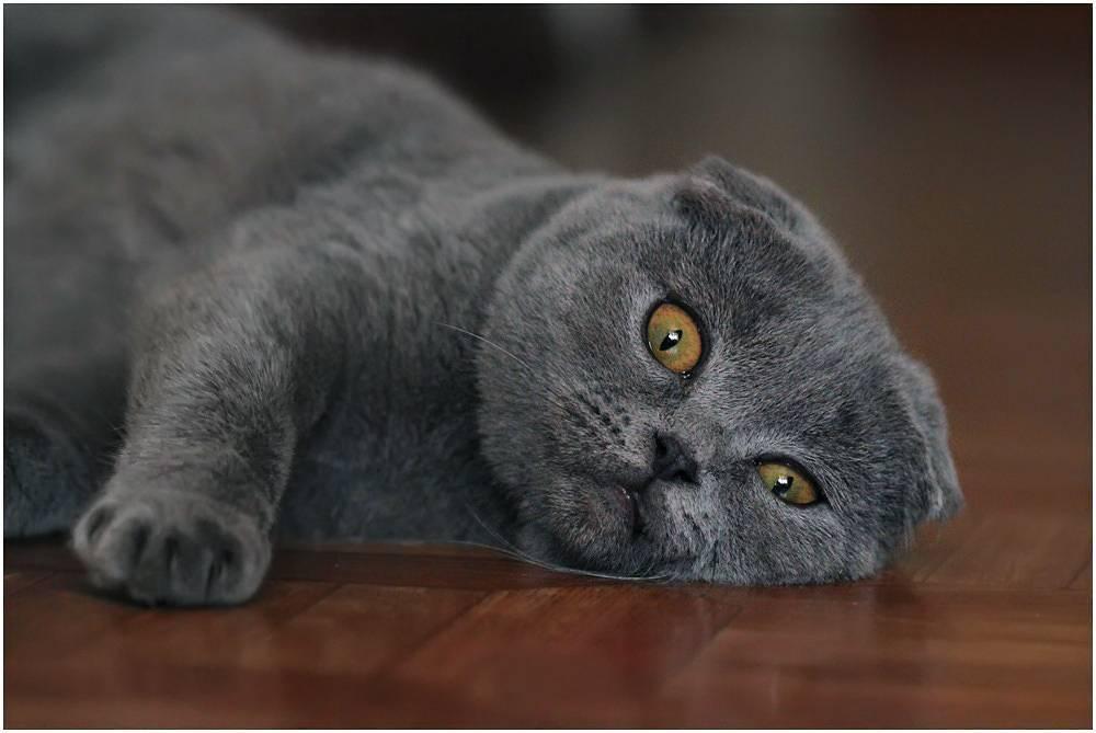 Шотландская вислоухая кошка. история, факты, характер