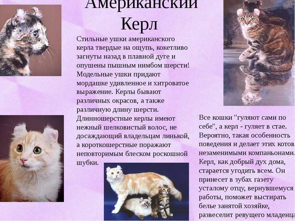 Американский керл-описание породы, характер, фото, цена котенка