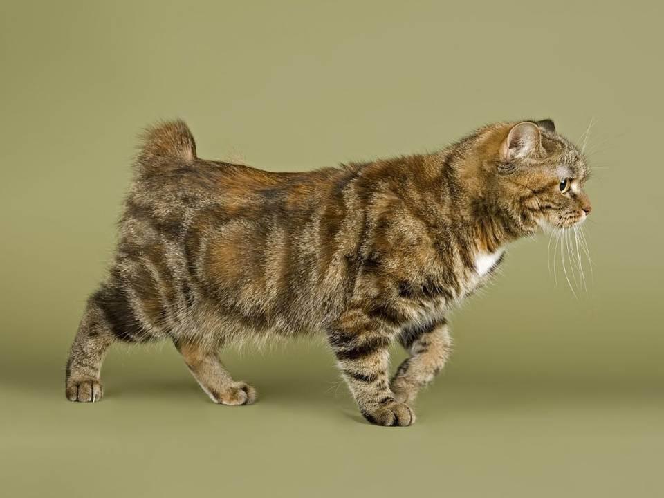 Сиамская - порода кошек - информация и особенностях | хиллс