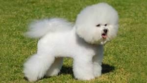 Малая львиная собачка порода собак, фото.  TopDog - Международные выставки собак