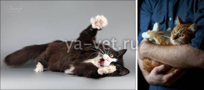 Причины судорог у кота и что при этом делать