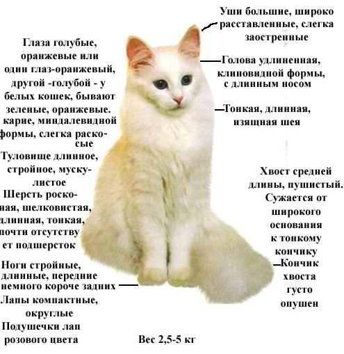 Турецкая ангора, порода кошек: описание, характер