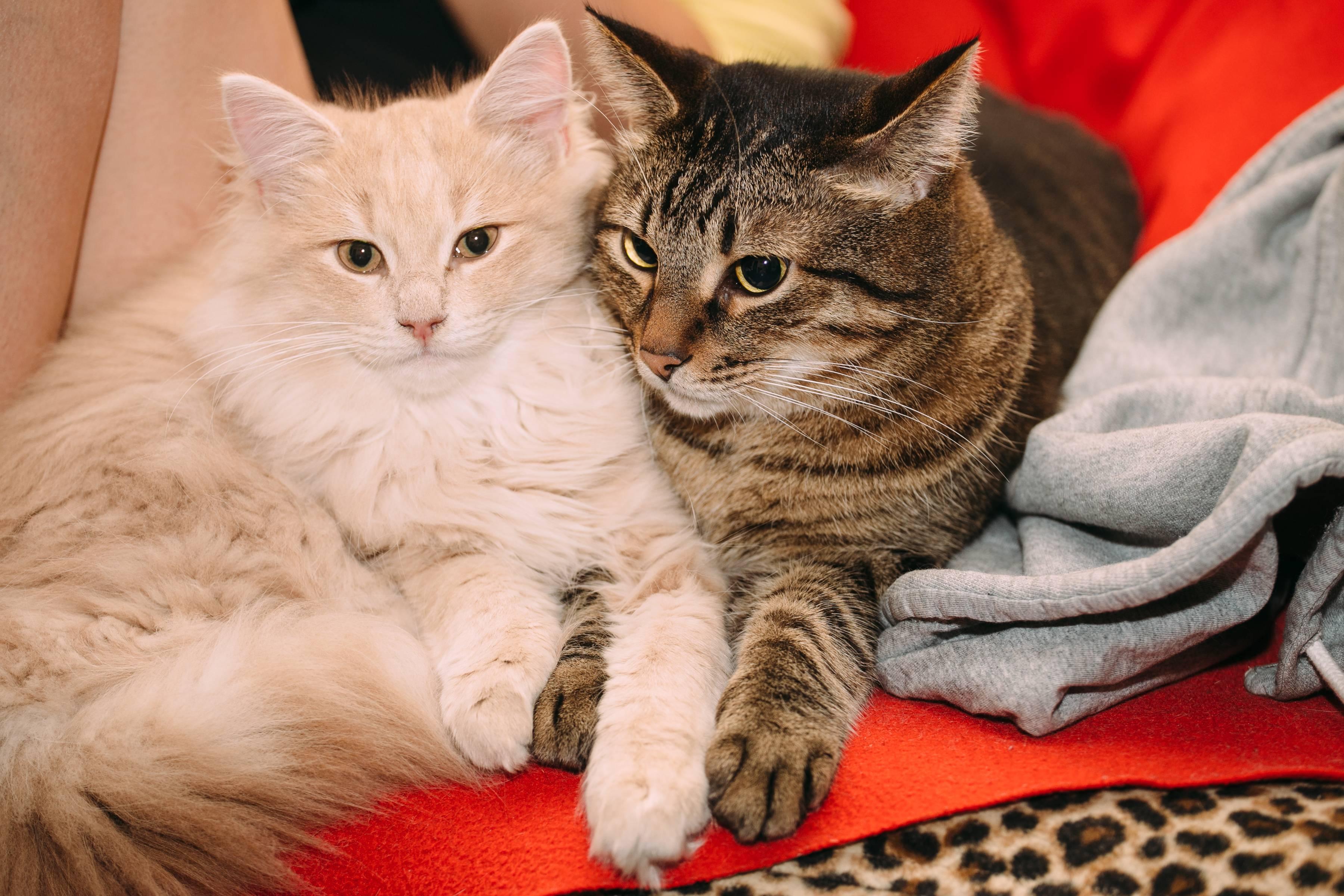 Как подружить двух кошек, правила и эффективные методы, видео советы