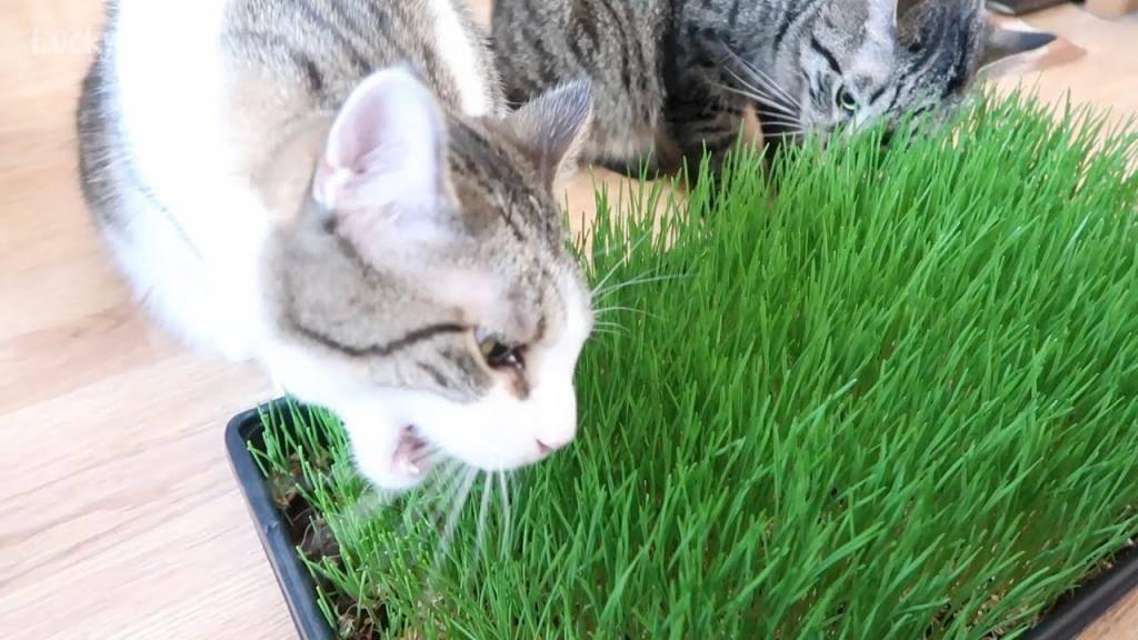 Какую траву посадить дома для кота. зачем коты едят траву