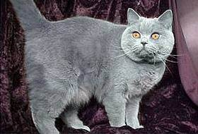 Британская короткошерстная кошка: всё о породе