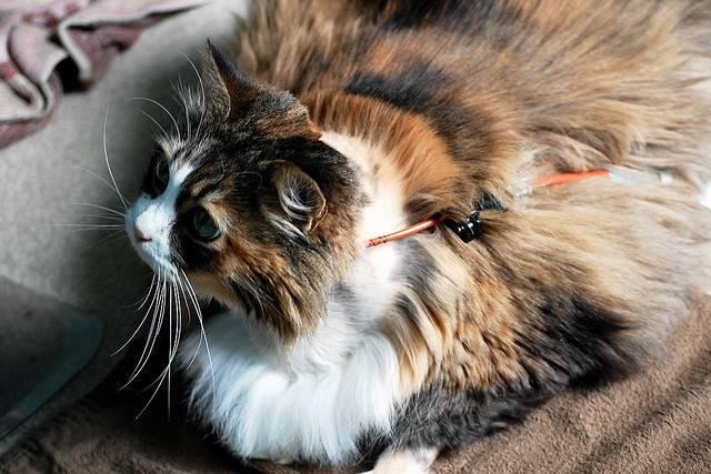 Панкреатит (острый и хронический) у кошек: причины, симптомы, лечение и диета