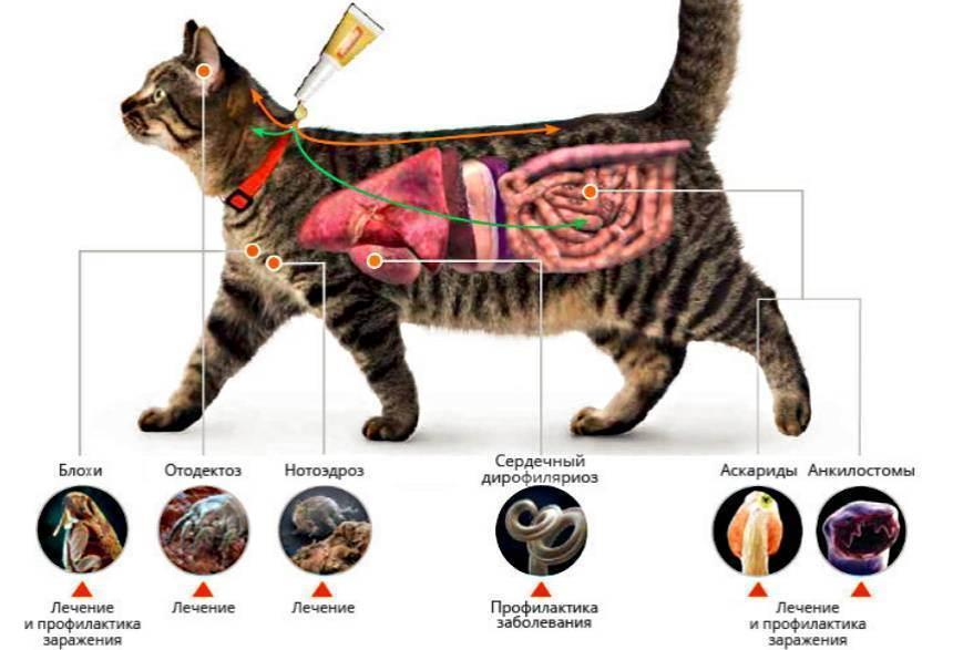 Лишай у кошек – важная информация, признаки, фото, лечение