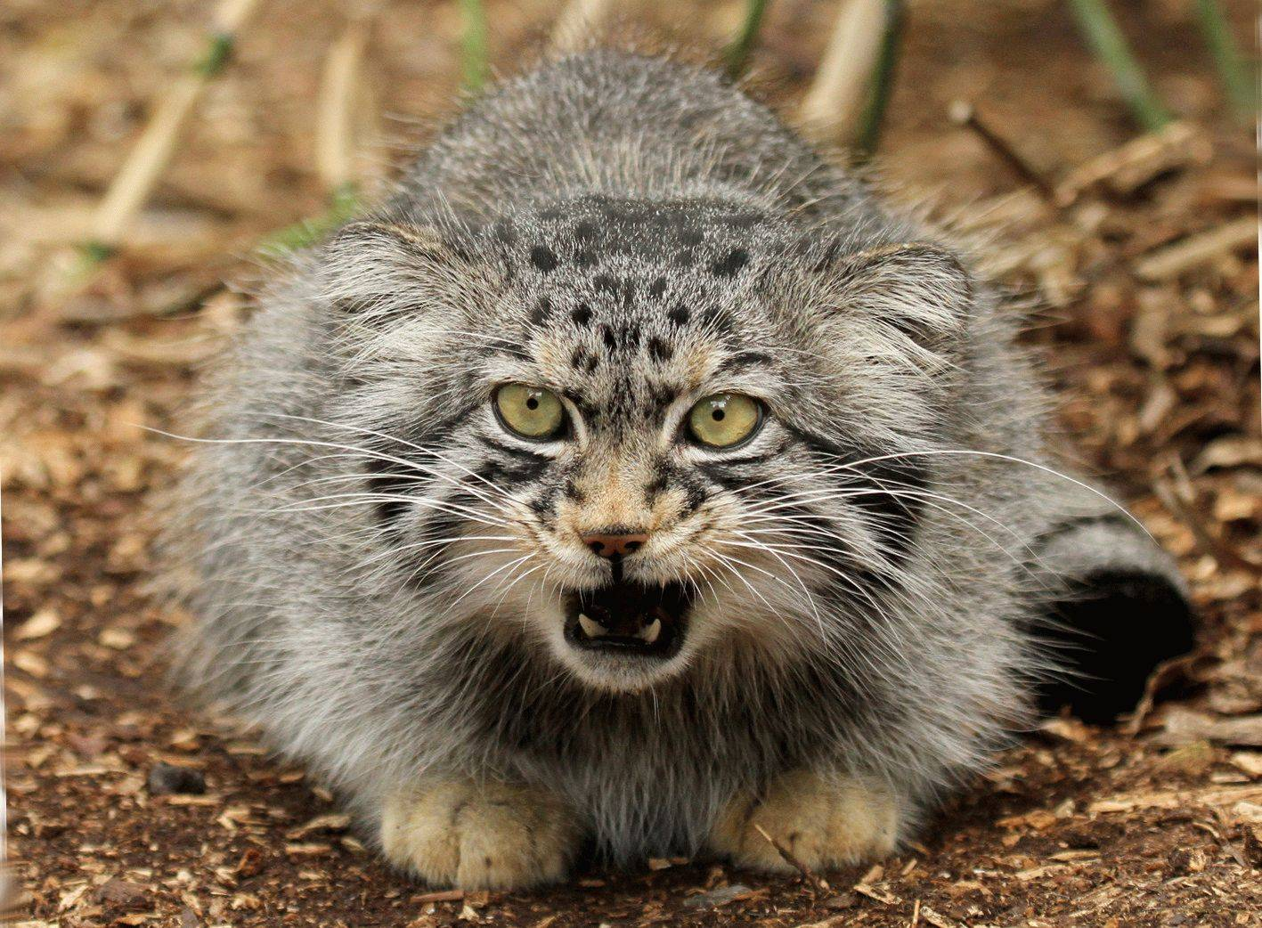 Дикий кот манул: история открытия и особенности вида, фото котёнка и взрослой кошки, ареал обитания и образ жизни