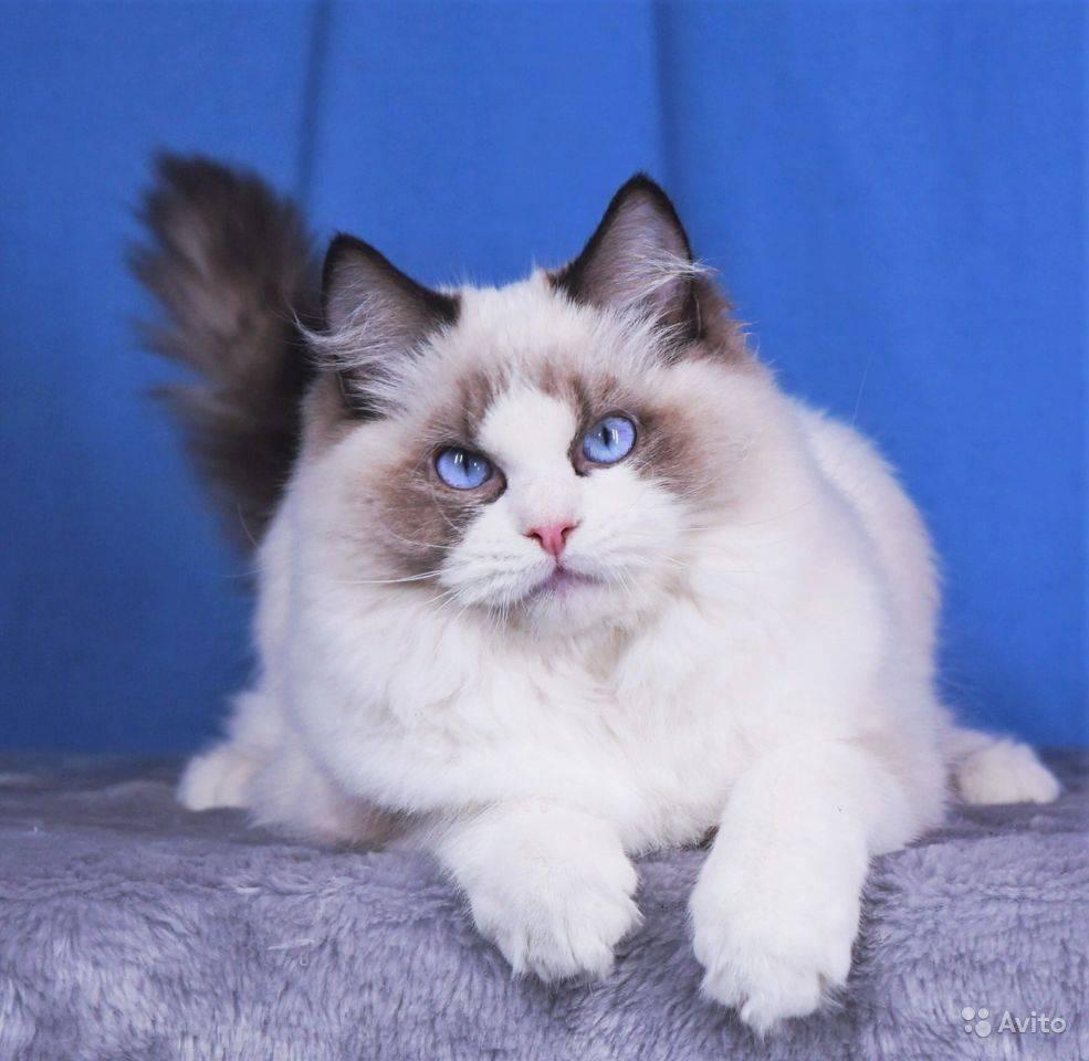 Кошки рэгдолл: информация и характерные особенности