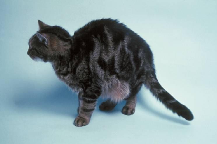 Асцит при сердечной недостаточности у кота