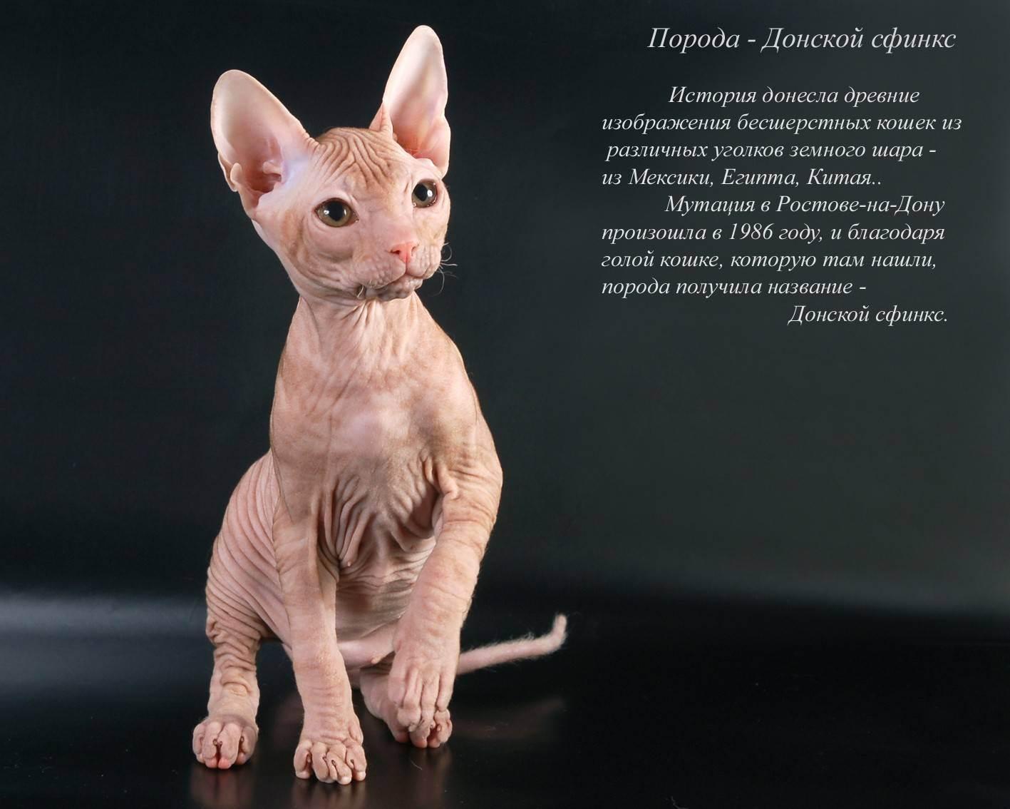 Эльф: порода кошек из группы сфинксов, описание котов, фото лысых котят с ушами разных окрасов