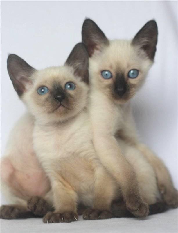 Тайская кошка: фото, описание, цена. тайская кошка: характер — достоинства и недостатки