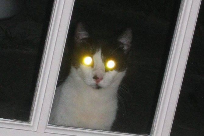 Почему у кошек в темноте светятся глаза?