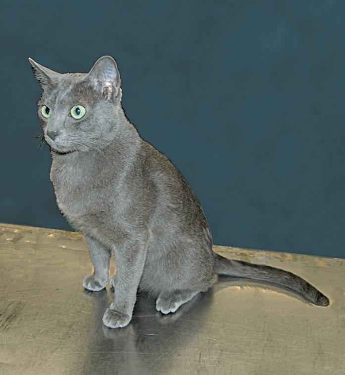 Порода кошек корат: подробное описание и уход